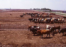 Cattle feedlot.
