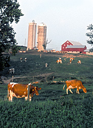 Photo: Dairy cattle grazing. Link to photo information