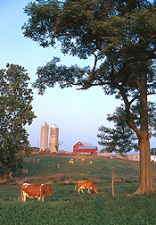 Dairy farm, with cows in foreground and fields and buildings in background. Link to photo information