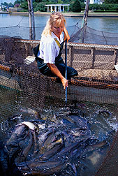 Samples of wild channel catfish harvested from a net pen to be assessed for overall health.