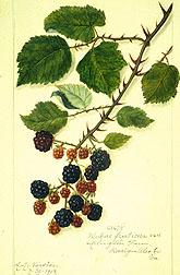 Rubus fruticosa blackberry.