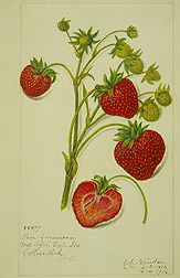 Pan American strawberry.