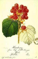 Wineberry raspberry.