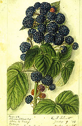 Hoosier raspberry.