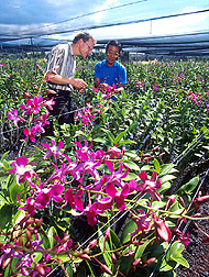 Biologist Robert Hollingsworth (left) and an orchid grower discuss which colors are most likely to attract the pest. Click here for full photo caption.