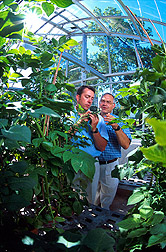 Two researchers are preparing to pollinate a common potato variety. Click here for full photo caption.