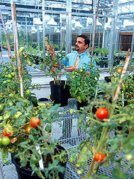 Photo: Researcher examines tomato plants. Link to photo information