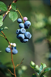 Photo: Blueberries on the vine. Link to photo information
