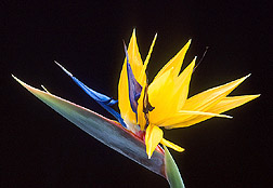 Flower of bird-of-paradise. Click here for full photo caption.