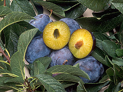 Several whole plums with one plum sliced in half: Click here for full photo caption.