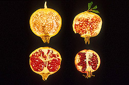 Seeds from mature pomegranates: Click here for full photo caption.