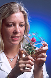 Technician examines a rose plant: Click here for full photo caption.