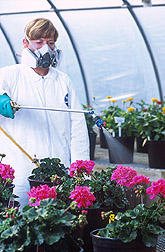 Technician sprays a chemical on geranium plants: Click here for full photo caption.