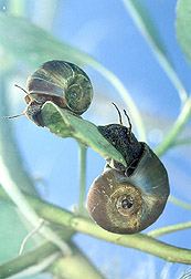 Ram's horn snails: Click here for full photo caption.