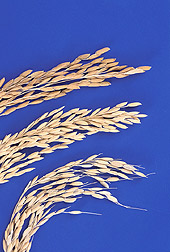 Photo: Three varieties of rice. Link to photo information