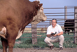 Animal scientist working on BAC map of bovine genome: Click here for full photo caption.