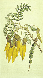Illustration: Wing-podded sophora Sophora tetraptera. Link to image information