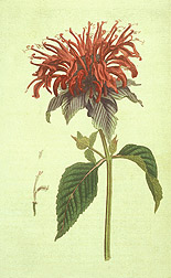 Crimson monarda: Click here for full photo caption.