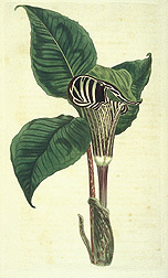 Zebra-flowered arum: Click here for full photo caption.