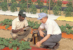 A technician and plant physiologist test colored plastic mulches as yield boosters for tomatoes and other crops. Click image for additional information.