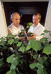 Plant psychologist and professor examine light on cotton shoots: Click here for full photo caption.