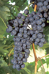 Grapes ripening on a vine. Click the image for additional information about it.