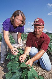 Technician and entomologist collect bollworm caterpillars from a field of Bt cotton: Click here for full photo caption.