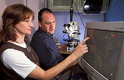 Two physiologists evaluate whether turkey sperm are alive or dead: Click here for full photo caption.