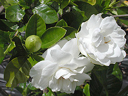 Gardenia plant in bloom: Click here for photo caption.