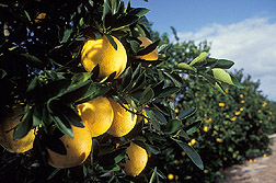 Florida oranges ripen in orchard. Link to photo information