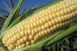 Photo: Ear of corn. Link to photo information