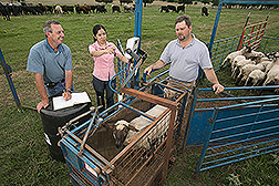 Animal scientist, visiting scientist, and technician weigh a sheep: Click here for full photo caption.