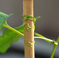 Redvine tendrils coil and latch on to support. Link to photo information