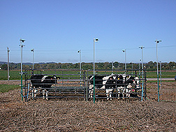 Dairy heifers in experimental corrals on cornfields before spring planting. Link to photo information