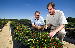 Geneticists evaluate one of their multicolored experimental lines of peppers: Click here for full photo caption.