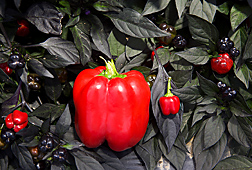 Standard-size bell pepper and miniature bell pepper: Click here for full photo caption.
