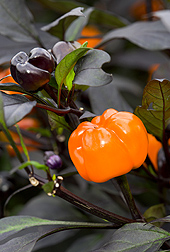 Orange, pumpkin-shaped fruit for seasonal applications as Halloween: Click here for photo caption.