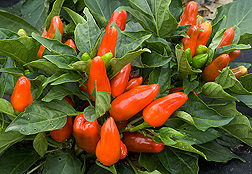 Tangerine Dream—a sweet, edible, ornamental pepper: Click here for photo caption.