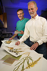 Technician and range scientist examine herbarium specimens of seleniferous plants: Click here for full photo caption.