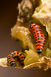 Larvae of the invasive cactus moth, Cactoblastis cactorum: Click here for full photo caption.