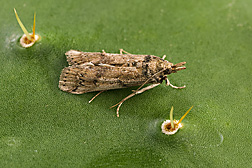 An adult female of the invasive cactus moth resting on a prickly pear cactus pad: Click here for photo caption.