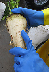 Root maggot damage on a sugar beet root: Click here for photo caption.