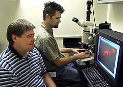 Insect physiologist and technician examine a genetically transformed Indian meal moth caterpillar using fluorescence microscopy: Click here for full photo caption.