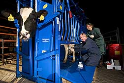 Microbiologist and visiting graduate student collect milk samples from a cow with mastitis: Click here for full photo caption.
