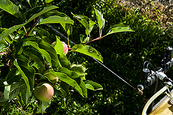 Low-volume sprayer applies thin stream of liquid to apple tree canopy. Link to photo information