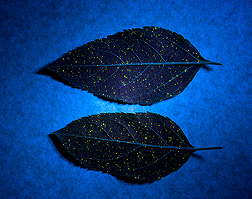 A fluorescent material viewed under a black light shows the distribution of sex pheromone-containing microcapsules on leaves after the microcapsules were sprayed from a low-volume spray applicator: Click here for photo caption.