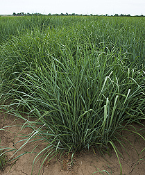 Close-up of switchgrass plant. Link to photo information