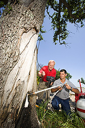 Mark Jackson  uses a fiber-optic camera to monitor  termite activity inside  a tree while Ed Freytag injects the  foam.  Link to photo information