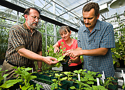 Plant pathologist and molecular biologist (right) point out virus symptoms on plants containing the CD14 gene to molecular biologist: Click here for full photo caption.