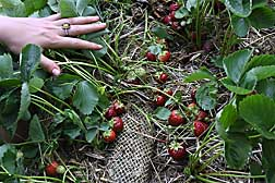 Perennial strawberries planted in compost-filled mesh socks are less susceptible to black root rot and produce more marketable fruit than those planted in unfumigated, unamended soils: Click here for full photo caption.